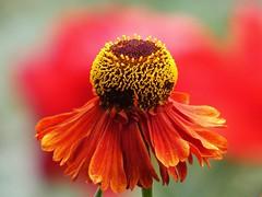Sonnenbraut (libra1054) Tags: sonnenbraut helenium sneezeweed lhélénie blumen flores fiori flowers fleurs flora rojo rosso red rot rouge vermelho macro outdoor nature natura