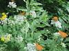 Danse de Tabac d'espgane (bouillons vagabonds) Tags: bosnie lépidoptères rhopalocères