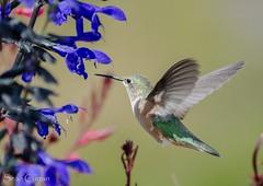 Female broad tailed hummingbird (quotography513) Tags: flowers nikon animal wildlife nature breckenridge colorado bird hummingbird