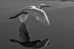 Snowy in B&W with reflection (bodro) Tags: bw bolsachica bird birdinflight birdphotography ecologicalreserve egret reflection shallows snowy sunlit symmetry wetlands wingsdown nature naturethroughthelens