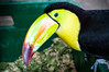 Nahaufnahme eines Fischertukans (Ramphastos sulfuratus) (marcoverch) Tags: colorful beak nature bird guatemalan keelbilled toucan lugares tropical animal vogel wildlife tierwelt noperson keineperson schnabel tropisch zoo tier natur outdoors drausen exotic exotisch feather feder one ein color farbe avian poultry geflügel parrot papagei portrait porträt wild motley bunt water wasser bnw bench purple classic airplane newyork olympus lighthouse candid lines nahaufnahme fischertukan ramphastossulfuratus