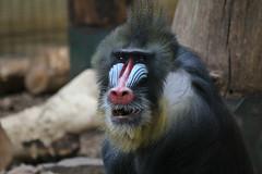 IMG_0823 (jaybluejeans94) Tags: chester zoo monkey monkeys wild nature animal animals chesterzoo