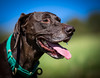 Dale (Paul`s dog photography) Tags: gsp rescue dog greece german short haired pointer