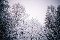 Лес в Соколовке