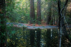 Fantasy forest 6 (Photo Monologue) Tags: redwoods california trees green nature dusk fall