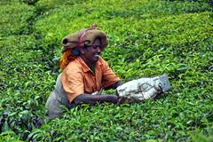 India - Kerala - Munnar - Tea Harvesting - 154 (asienman) Tags: india kerala munnar teaplantagen asienmanphotography