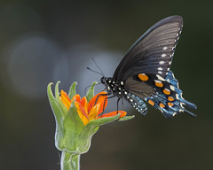 garden butterfly visitor 10-2-17_005 (pmsswim) Tags: gardenvisitor butterfly mariposa tithonia mexicansunflower fall october 2017