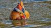 Mandarinente, NGID1302208926 (naturgucker.de) Tags: ngid1302208926 naturguckerde mandarinente aixgalericulata 915119198 1067791752 1239145495 cwolfgangkühn