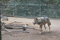 Rome, Italy - Villa Borghese - Biopark of Rome (Zoo) - Grey Wolf (jrozwado) Tags: europe italy italia rome roma villa borghese park parco bioparco biopark zoo wolf dog lupo