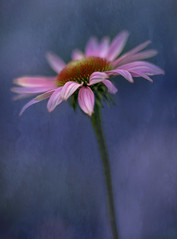 The Flower and the Forever Midnight (hmthelords) Tags: texture autumn art straggler echinacea coneflower judgingabookbyitscover aaw bestofweek1 bestofweek2