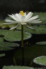 Waterlily (pattycphotography) Tags: white water green flower flowers light yellow garden nature rain cloudy