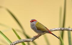 small bird series: a red-browed finch (Fat Burns ☮ (on/off)) Tags: redbrowedfinch neochmiatemporalis sigma150600mmf563dgoshsmsports smallbird nikond750 bird australianbird fauna australianfauna berrinbawetlands feathers finch
