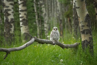 Great Grey Owl Fledgling