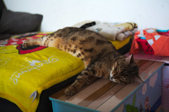 happy to see familiar visitors (n.a.) Tags: bamboo bengal cat happy lying home 5md