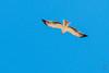 Booted Eagle (Hieraaetus pennatus)-6303 (Stein Arne Jensen) Tags: accipitridae aiglebotté bird bootedeagle canaryislands canonef100400f4556lisusm canoneos70d dvergørn espagne espanya españa europa europe falconiformes fugl grancanaria haukefamilien hieraaetuspennatus islascanarias kanarischeinseln kanariøyene laspalmas losgiles pajaro provinciadelaspalmas rovfugler spain spania spanien steinarnejensen vogel zwergadler lintu oiseau águiacalçada águilacalzada европа орёлкарлик птица أوروبا यूरोप ヒメクマタカ ヨーロッパ 歐洲 靴隼雕 鳥 鸟 유럽