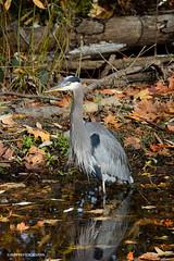 Great blue heron (JSB PHOTOGRAPHS) Tags: dsc734400001 greatblueheron nikon deltaponds eugeneoregon recreation reflections autumn leaves
