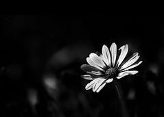 Minimalist (Jenny Onsager) Tags: minimal minimalist negativespace dark darkness flowers daisy blackandwhite bokeh night