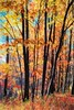An Autumn Fantasy (Wes Iversen) Tags: grandblanc grandblanccommons hss michigan nikkor24120mm sliderssunday autumn autumncolor colors digitalart fall forests golden leaves painterly trees woods