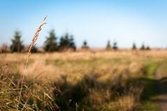 lonely ear of corn.jpg (MichalKondrat) Tags: natura bokeh zachodniopomorskie niebo pejzaż pole krajobraz drzewa polska łąka jesień zboże borzysławiec nikond300s 35mm przyroda kłos poland województwozachodniopomorskie pl trawa