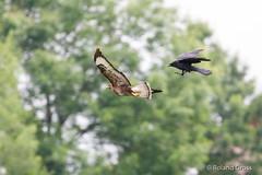 Kampf zwischen Krähe und Mäusebussard (rgr_944) Tags: bird animals tiere outdoor natur animaux vögel oiseau vogel rgr944 canoneos80deos7dmk2eos5dmk4 animal wildlife tier