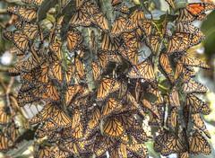Monarch Butterflies (TariqhCN) Tags: monarch butterfly nikon d810 sigma 150600 mm contemporary nature san francisco bay area outdorrs dslr eucalyptus