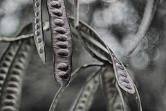 seed pods (gnarlydog) Tags: abstract australia vintagelens manualfocus nature seedpod bokeh shallowdepthoffield kodakcine50mmf16 monochrome blackandwhite bw shapes speckledhighlights
