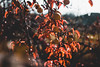 IMG_8273 (Tsikura) Tags: autumn autumncolours sakartvelo nature canon landscape yellow orrange orange colours vine wine georgia კარალიოკი ჩირი 50mm