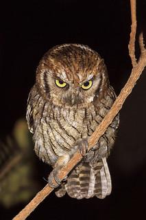 corujinha-do-mato (Megascops choliba) Tropical Screech-Owl