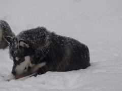 Let it snow (jondewi52) Tags: animal alaskan colours colour dog jämtland malamute musher mushers nature norrland nofilter nophotoshop outdoor outdoors snow sleddogs sleddog winter