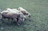 Lop eared sheep. Rauris 15.4.1965 (Mary Gillham Archive Project) Tags: 15thapril1965 1965 52217 agriculture austria lopearedsheep mammal rauris