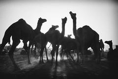 Pushkar (Ashmalikphotography) Tags: pushkar camels pushkarfestival pushkarmela pushkarpukare lovefortravel travel travelphotography filmcamera blackandwhite bnw