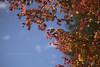 紅葉 (Zunten) Tags: autumnfoliage autumnleaves 紅葉 tree 木 樹 red 赤 yellow 黄 autumn 秋 201711 2017 arisugawapark 有栖川公園 有栖川宮記念公園 park 公園 azabu 麻布 minamiazabu 南麻布 tokyo 東京 japan 日本 sony α7r ilce7r carl zeiss planar 1485 t mmg planar1485 cy