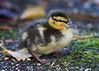 December Duckling (muppet1970) Tags: duckling mallard december christchurchpark ipswich moss leaf winter