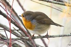 Rouge-gorge (jacme31) Tags: autoupload leteich auseths bird hiver oiseaux winter rougegorge robin