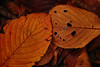 20171126_DP3M3453 (NAMARA EXPRESS) Tags: closeup leaf leaves deadleaf fallenleaves deadleaves tripod daytime autumn cloudy outdoor color toyonaka osaka japan foveon x3 sigma dp3 merrill namaraexp