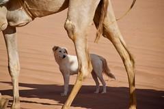 (Giramund) Tags: jordan middleeast wadirum desert sand dog camel animal