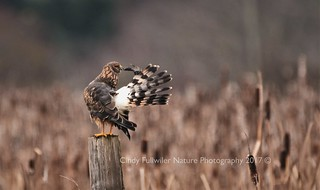 Female Northern Harrier Preening