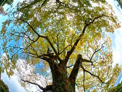 Around The World (somazeon) Tags: tree fisheye green sky pana panasonic lumix gx7 samyang tottori japan 鳥取 日本