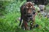 Sumatran tiger - Diergaarde Blijdorp (Mandenno photography) Tags: dierenpark dierentuin dieren animal animals diergaarde blijdorp rotterdam ngc nederland netherlands nature tiger tijger tigers tijgers