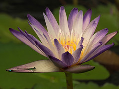 Lotus 2 (joeng) Tags: plants flower lotus pond insect dragonfly macro