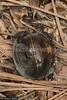 40818 Spiny Turtle (Heosemys spinosa) in coastal hill rainforest, Perak, Malaysia. IUCN=Endangered. (K Fletcher & D Baylis) Tags: animal fauna wildlife reptile testudines geoemydidae turtle spinyturtle heosemys heosemysspinosa carapace scutes endangered coastalrainforest perak malaysia asia november2017