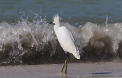 Yikes! (Gary McHale) Tags: waves north beach fort de soto snowy egret coth5