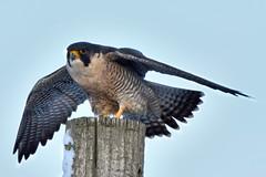 Faucon pèlerin ----------- Peregrine falcon ----------- Halcón peregrin (Jacques Sauvé) Tags: faucon pèlerin peregrine falcon halcón peregrin aeroport de sthubert longueuil québec canada chance au coucher soleil
