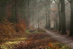 Herfst - Lage Vuursche (mariandeneijs) Tags: bos bomen boom tree trees forest herfst herbst autumn utrechtseheuvelrug lagevuursche