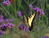 Tiger in the Meadow (KsCattails) Tags: botanicalgarden butterfly eastern insect kscattails nature overlandparkarboretum tigerswallowtail verbena