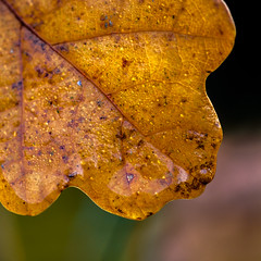 Autumn (FotoCorn) Tags: macro tuin garden autumn leaf fall natuur nature