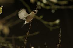 """""""Bouvreuil colibri"""" (D.Haineaux) Tags: pyrrhula gimpel bouvreuil camachuelo bullfinch bird oiseau vogel"""