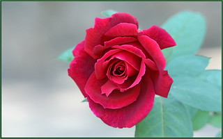 Autumn Red Rose