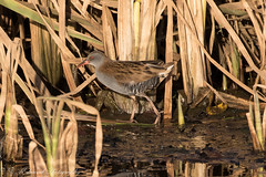Water Rail (Dougie Edmond) Tags: bird birds wader nature wildlife doonfoot lagoon ayrshire ayr beach sea