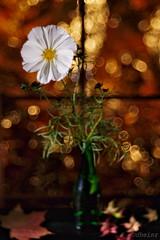 Autumn Evening with White Cosmos (d heinz) Tags: schmuckkörbchen weis white cosmos autumn herbst abend evening bokeh unschärfe trioplan100 hugo meyer görlitz leaves blätter